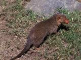 Dwarf Mongoose, Helogale Undulata, Africa Photographic Print by D. Robert Franz