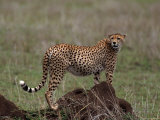 Cheetah, Acinonyx Jubatas, Tanzania Photographic Print by D. Robert Franz