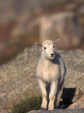 Baby Mountain Goat, Oreamos Americanus, CO Photographic Print by D. Robert Franz