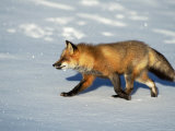 Red Fox on Snow, Vulpes Fulva, MT Photographic Print by D. Robert Franz