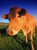 Cow, Yorkshire, England Fotodruck von Peter Adams
