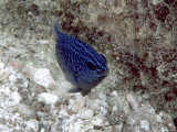 Blue Fish Photographic Print by Lee Peterson