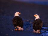 Bald Eagles, Haliaeetus Leucocephalus, AK 写真プリント : D. ロベルト・フランツ