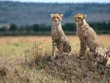 Cheetah Cubs, Masai Mara, Kenya Photographic Print by Michele Burgess