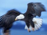 Bald Eagle, Haliaeetus Leucocephalus, AK Photographic Print by D. Robert Franz