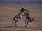 Burchell's Zebras Fighting, Tanzania Photographic Print by D. Robert Franz