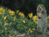 Arctic Ground Squirrel in Denali National Park, Alaska Photographic Print