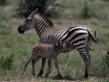 Burchell&#39;s Zebra Foal Nursing, Tanzania Photographic Print by D. Robert Franz