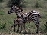 Burchell's Zebra Foal Nursing, Tanzania Photographic Print by D. Robert Franz