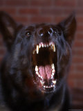 Ferocious Aggressive Dog Photographic Print by William Swartz