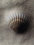 Scallop Shell in Sand Photographic Print by Howard Sokol