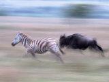 Burchell's Zebra Running, Tanzania Photographic Print by D. Robert Franz