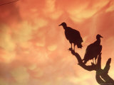 Silhouetted Vultures, Serra Dos Orgaos National Park, Brazil Photographic Print by Silvestre Machado