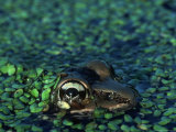 Frog in Duckweed Photographic Print by Kevin Leigh