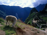 Inca Ruins of Machu Picchu, Llama, Peru Fotodruck von Shirley Vanderbilt