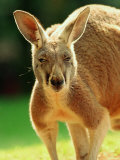 Australian Red Kangaroo Photographic Print by Peter Walton