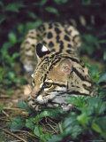 Ocelot Outdoors Photographic Print by David Davis