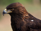 Golden Eagle (Aguila Chryseatoe), CA Photographic Print by Kyle Krause