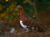 Ptarmigan, Alaska State Bird, Denali National Park in Autumn Reproduction photographique par Hal Gage