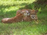 Lions Sitting on Grass Photographic Print by Pat Canova