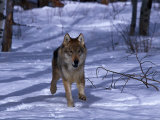 Gray Wolf Running in Snow by Trees, Canis Lupus Photographic Print by Lynn M. Stone