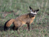 Bat-Eared Fox, Otcyon Megalotis, Tanzania Photographic Print by D. Robert Franz
