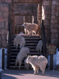 Mountain Goats, Oreamos Americanus, CO Photographic Print by D. Robert Franz