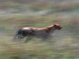 Cheetah Hunting, Acinonyx Jubatas, Tanzania Photographic Print by D. Robert Franz