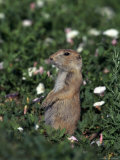 Black-Tailed Prairie Dog, Cynomys Ludovicianus, CO Photographic Print by D. Robert Franz