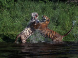 Bengal Tigers, Panthera Tigris, Endangered Species Photographic Print by D. Robert Franz
