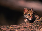 Ocelot, Endangered Species, Central America Photographic Print by Stuart Westmorland