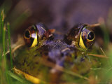 Green Frog Sitting in Grass, Bothell, WA Photographic Print by Jim Corwin