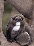 Debrazza's Monkey, Cercapithecus Neglectus Photographic Print by D. Robert Franz