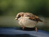 Sparrow, Central Park, Nyc Fotografie-Druck von Rudi Von Briel