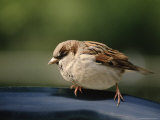 Sparrow, Central Park, Nyc Photographic Print by Rudi Von Briel