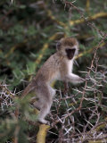 Black-Faced Vervet Monkey, Tanzania Photographic Print by D. Robert Franz