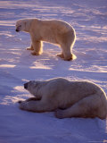 Polar Bears, Thalarctos Maritimus Photographic Print by D. Robert Franz