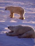 Polar Bears, Thalarctos Maritimus Photographic Print by D. Robert Franz