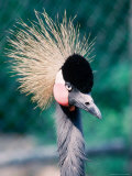 Crowned Crane, Balearica Pavonia, Zoo, Mendon, MA Photographic Print by Ed Langan
