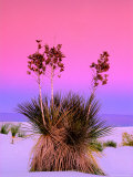 Pink Morning Sky with Yucca Photographic Print by Russell Burden