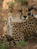Cheetah, Nambia Africa Photographic Print by Keith Levit