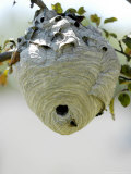 Wasps in a Wasp's Nest Photographic Print by Dennis Macdonald