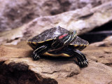 Red Eared Slider, Trachemus Scripta Elegans Photographic Print by Larry Jernigan