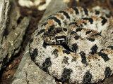 Western Pigmy Rattlesnake, Sistrurus Miliarius Photographic Print by Larry Jernigan