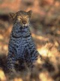 Kenya, Africa, Leopard, Panthera Pardus Photographic Print