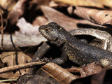 Fence Lizard, Sceloprus Undulatus Photographic Print by Larry Jernigan