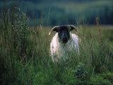 Country Side Ram, Ireland Fotoprint van Kathleen Kliskey-Geraghty