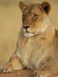Lions, Namibia, Africa Lámina fotográfica por Keith Levit