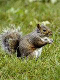 Grey Squirrel Holding a Piece of Food Photographic Print by Dennis Macdonald