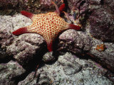 Panamic Cushion Star, Pentaceraster Cumingi Photographic Print by Ernest Manewal